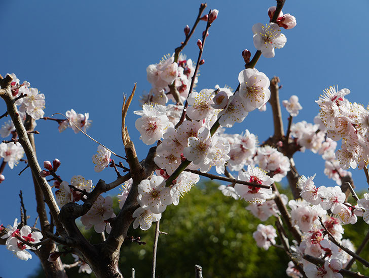 梅の花が満開になった。2021年-032.jpg