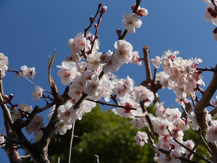 梅の花が満開になった。2021年-033.jpg