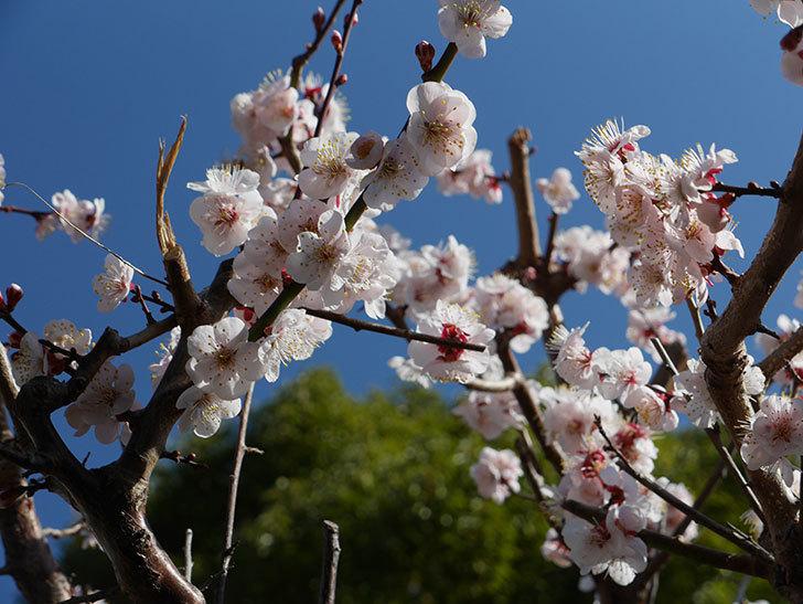 梅の花が満開になった。2021年-034.jpg