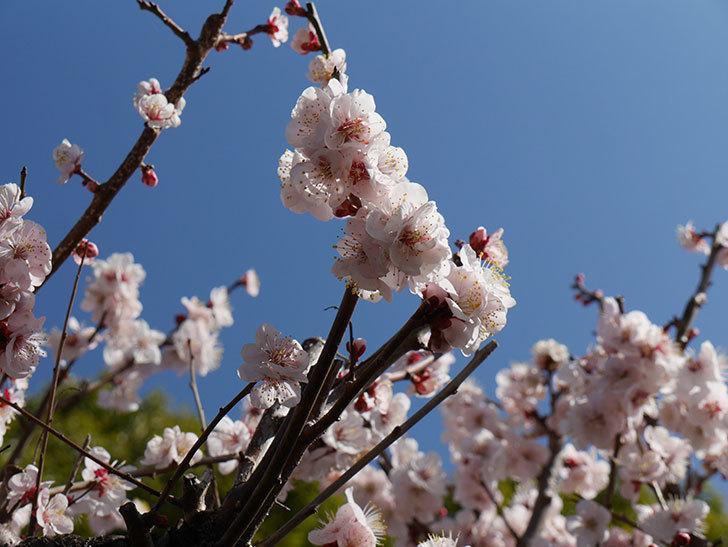 梅の花が満開になった。2021年-035.jpg
