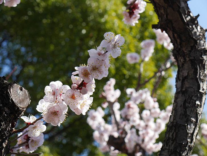 梅の花が満開になった。2021年-036.jpg