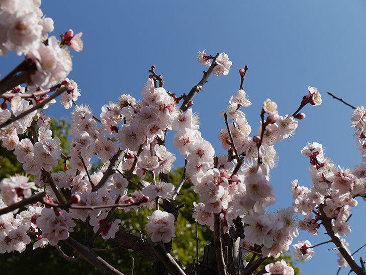 梅の花が満開になった。2021年-037.jpg