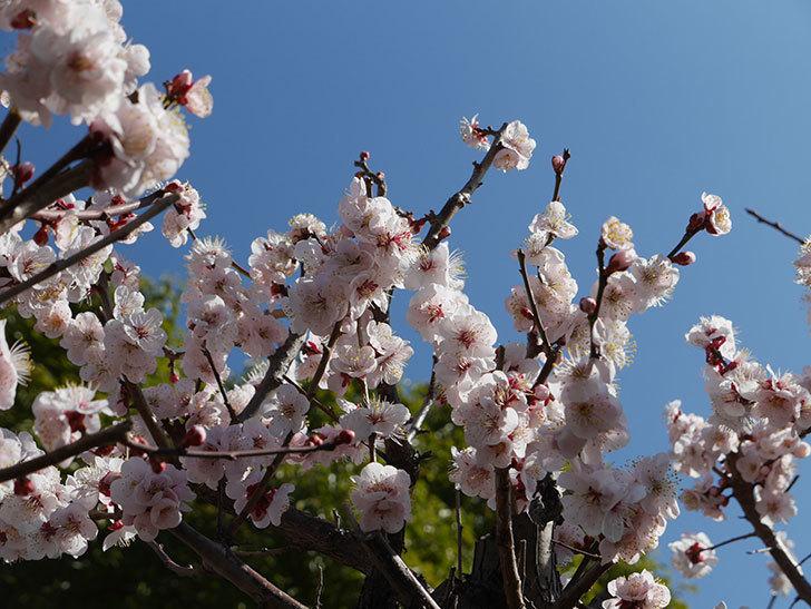梅の花が満開になった。2021年-038.jpg