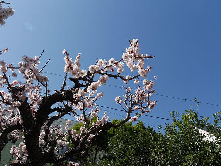 梅の花が満開になった。2021年-039.jpg
