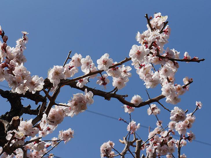 梅の花が満開になった。2021年-040.jpg