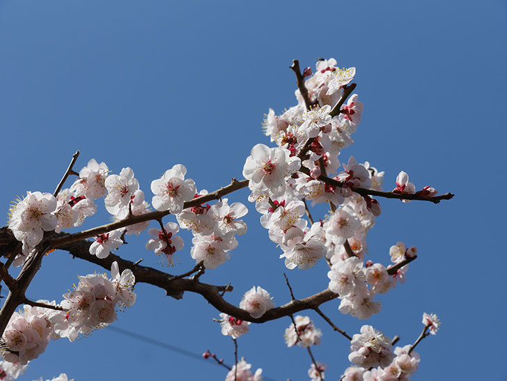 梅の花が満開になった。2021年-041.jpg