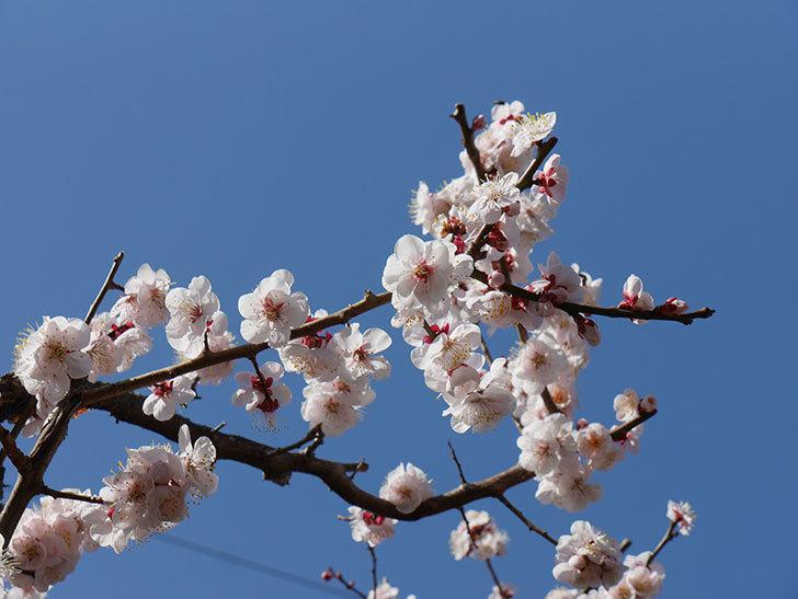 梅の花が満開になった。2021年-042.jpg