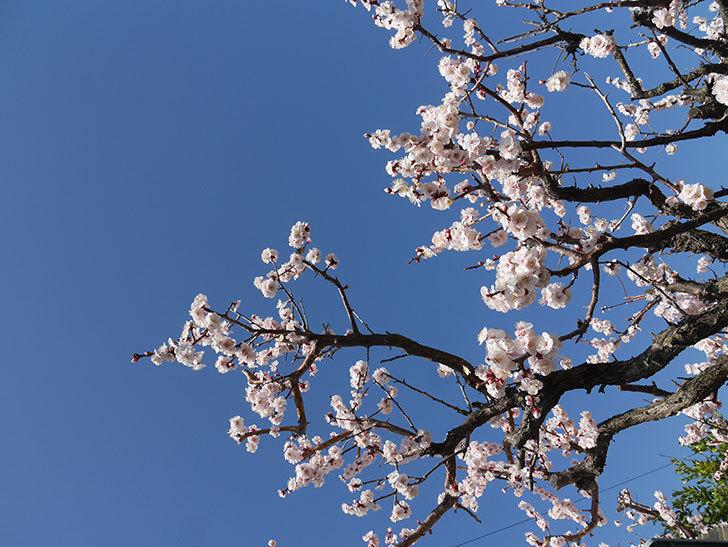 梅の花が満開になった。2021年-044.jpg