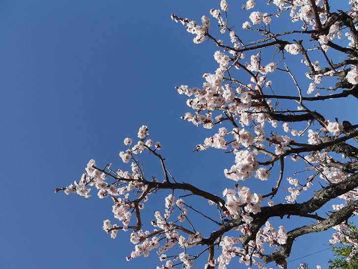 梅の花が満開になった。2021年-045.jpg