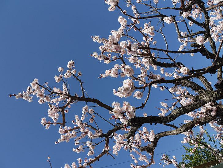 梅の花が満開になった。2021年-046.jpg