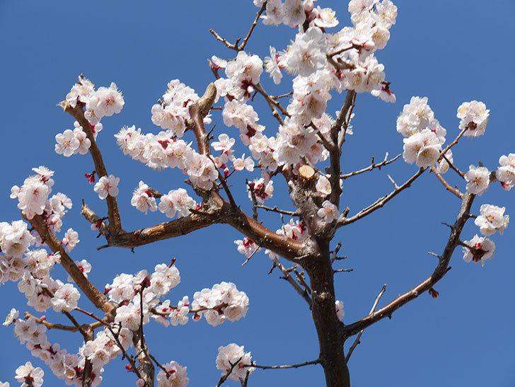 梅の花が満開になった。2021年-047.jpg