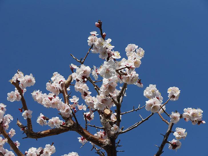 梅の花が満開になった。2021年-048.jpg