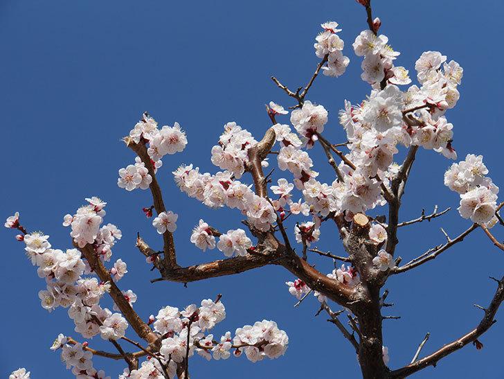 梅の花が満開になった。2021年-050.jpg