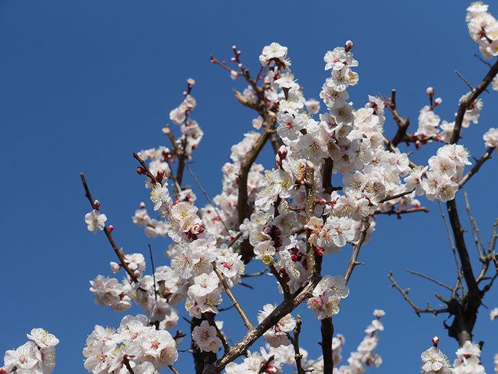 梅の花が満開になった。2021年-051.jpg