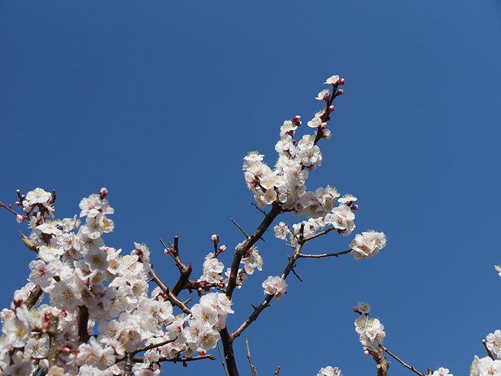 梅の花が満開になった。2021年-052.jpg