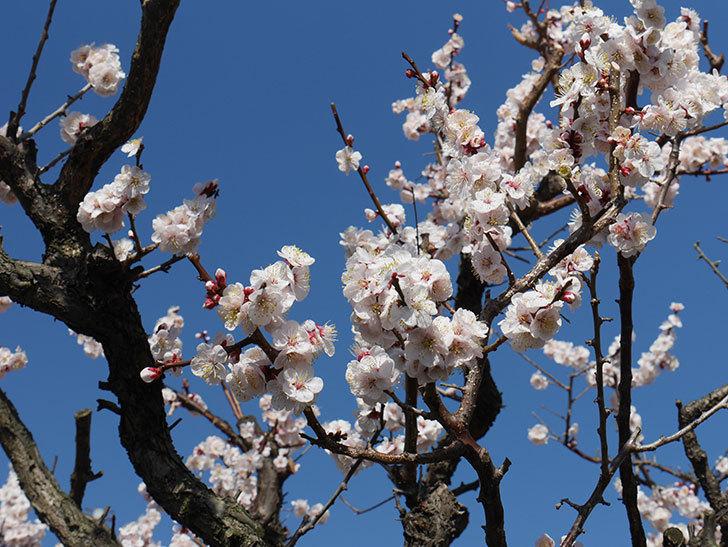 梅の花が満開になった。2021年-053.jpg