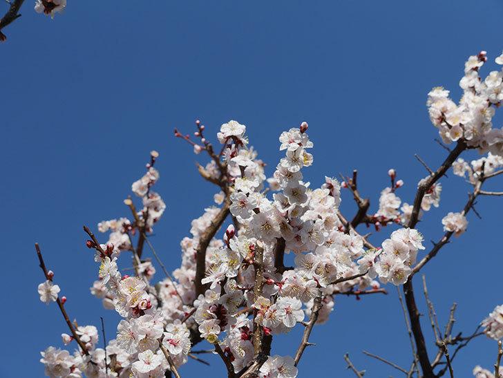 梅の花が満開になった。2021年-054.jpg