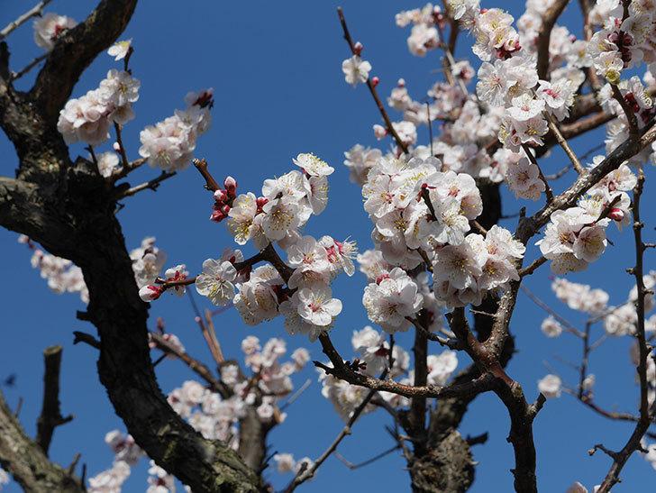 梅の花が満開になった。2021年-055.jpg