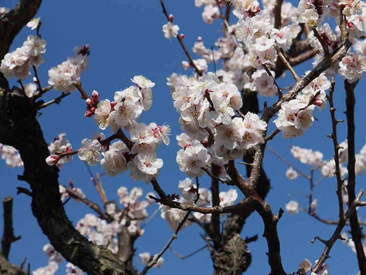 梅の花が満開になった。2021年-056.jpg