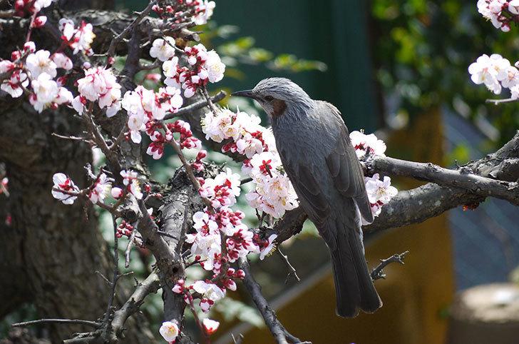 梅の花にヒヨドリが来た1.jpg