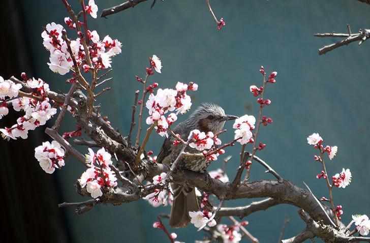 梅の花にヒヨドリが来た10.jpg