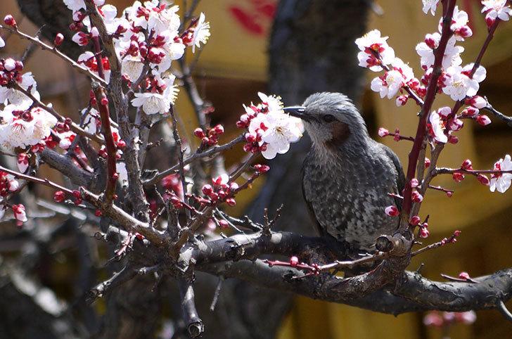 梅の花にヒヨドリが来た11.jpg