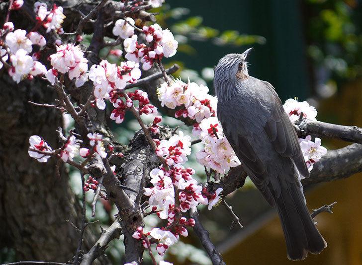 梅の花にヒヨドリが来た3.jpg