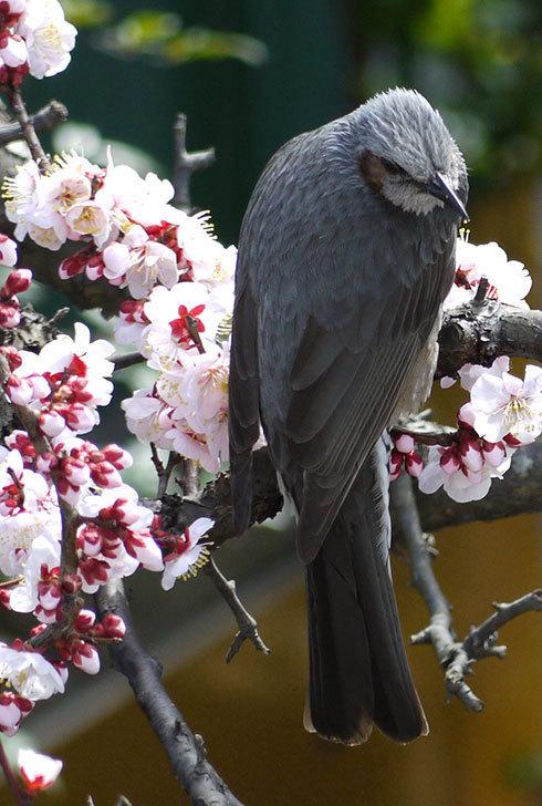 梅の花にヒヨドリが来た5.jpg