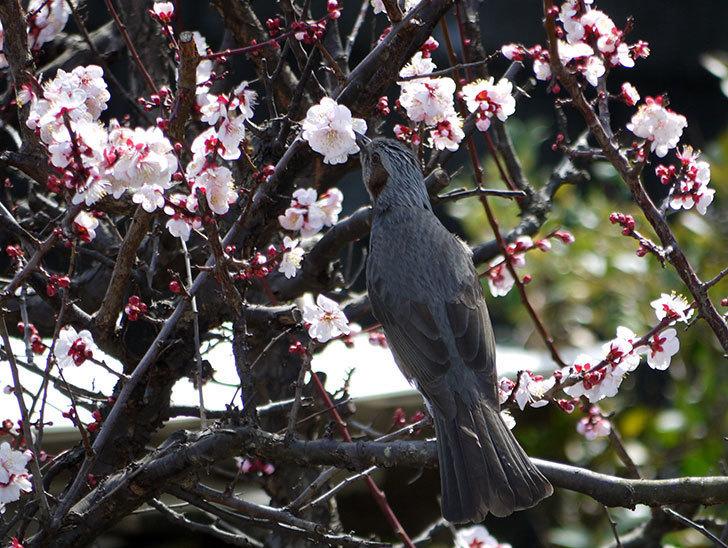 梅の花にヒヨドリが来た6.jpg