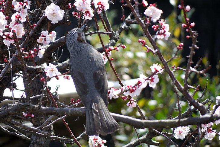梅の花にヒヨドリが来た7.jpg