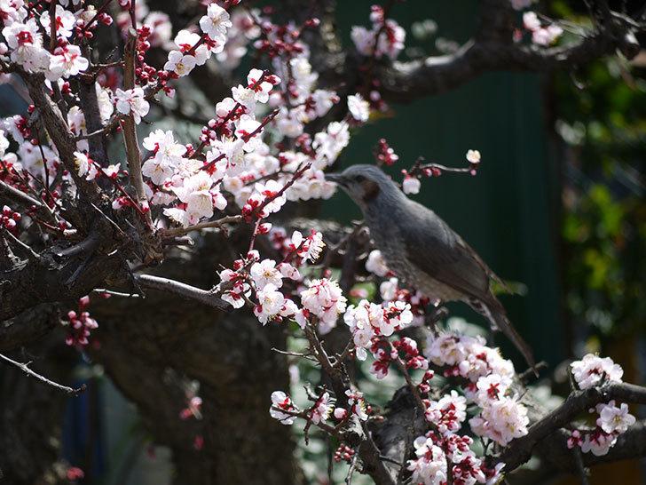 梅の花にヒヨドリが来た9.jpg