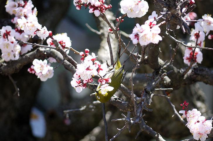 梅の花にメジロが来た10.jpg
