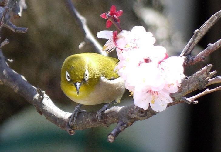 梅の花にメジロが来た11.jpg