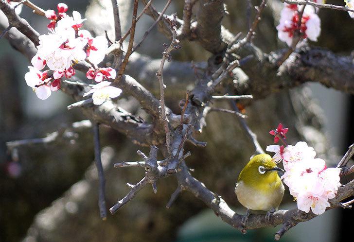 梅の花にメジロが来た12.jpg