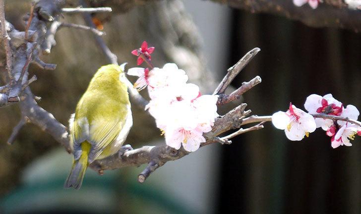 梅の花にメジロが来た13.jpg