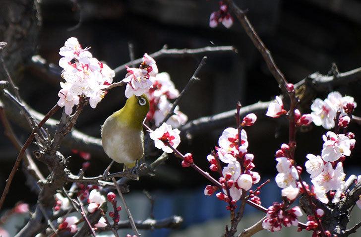 梅の花にメジロが来た14.jpg