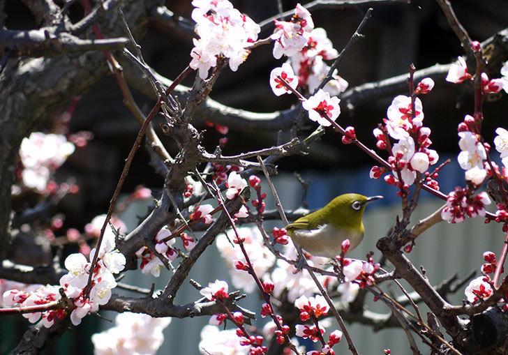 梅の花にメジロが来た15.jpg