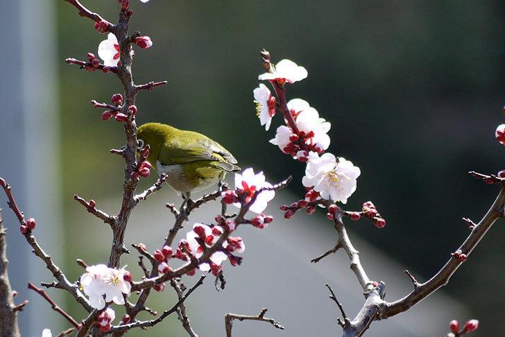 梅の花にメジロが来た2.jpg