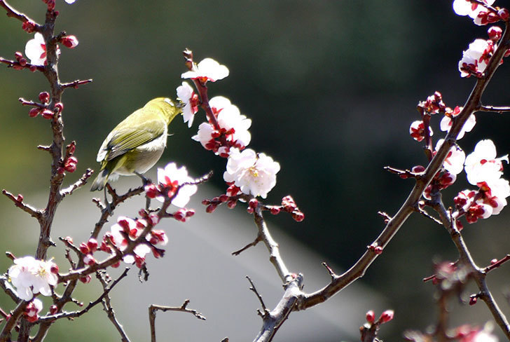 梅の花にメジロが来た3.jpg
