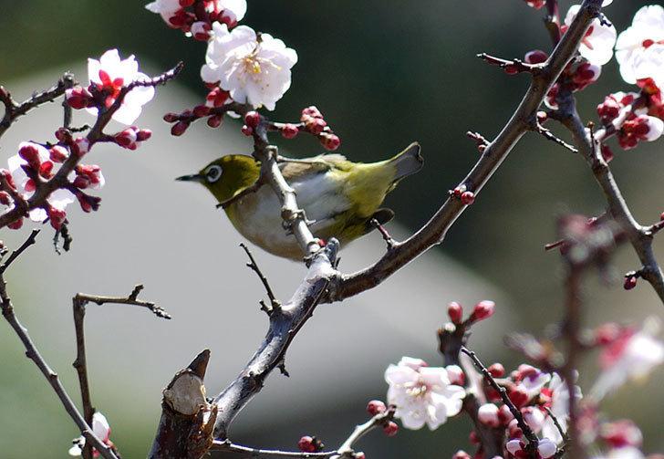 梅の花にメジロが来た4.jpg