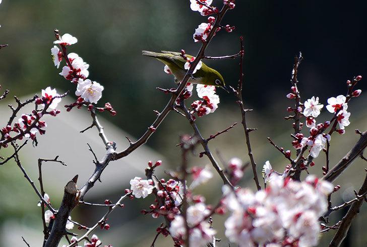 梅の花にメジロが来た5.jpg
