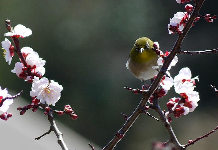 梅の花にメジロが来た6.jpg