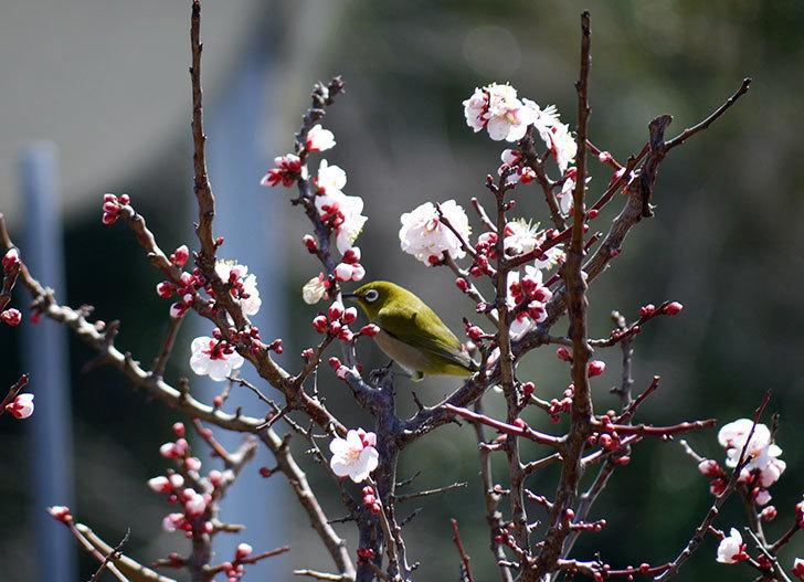 梅の花にメジロが来た7.jpg