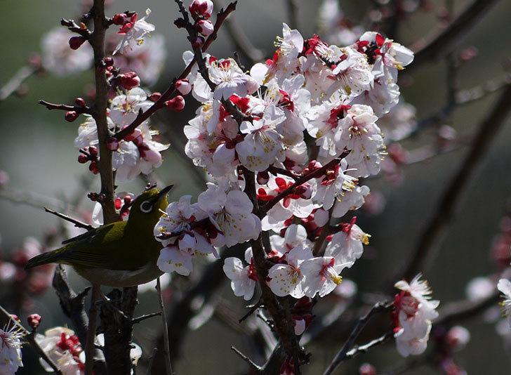梅の花にメジロが来た8.jpg