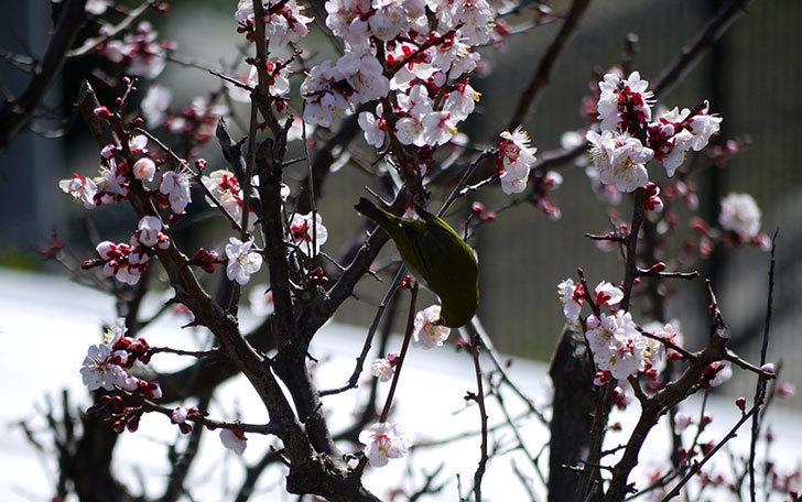 梅の花にメジロが来た9.jpg