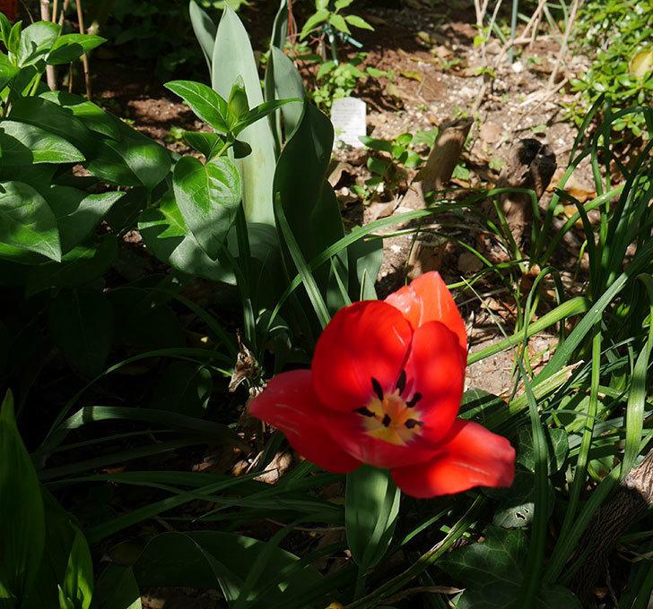 植えっぱなしのチューリップに花が咲いた。2018年-3.jpg