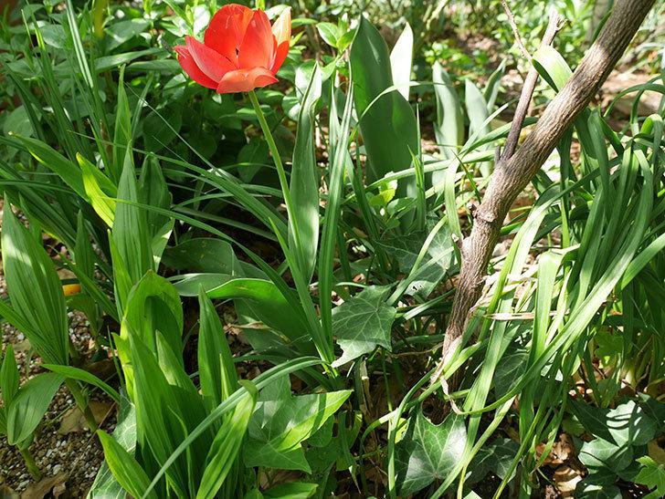植えっぱなしのチューリップに花が咲いた。2018年-4.jpg