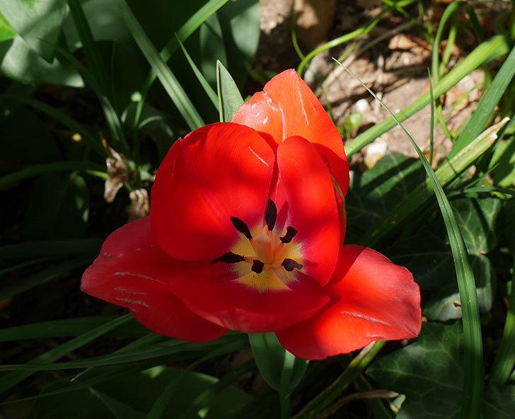 植えっぱなしのチューリップに花が咲いた。2018年-5.jpg