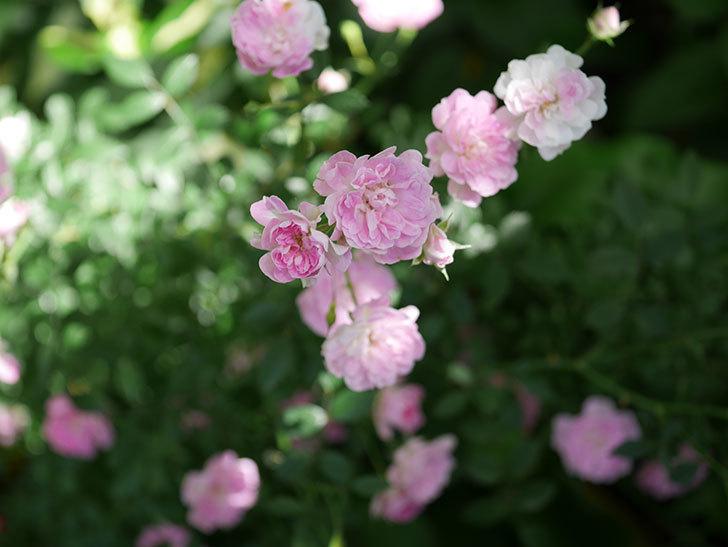 極小のピンクのミニバラがたくさん咲いた。2018年-6.jpg