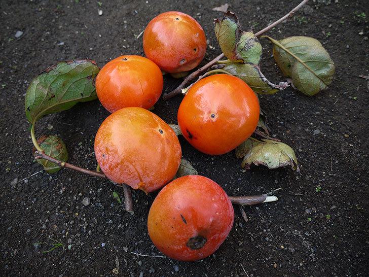 残っていた柿を収穫した。2013年1.jpg